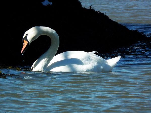 swan2w