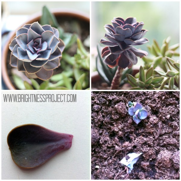 How to propagate an echeveria succulent
