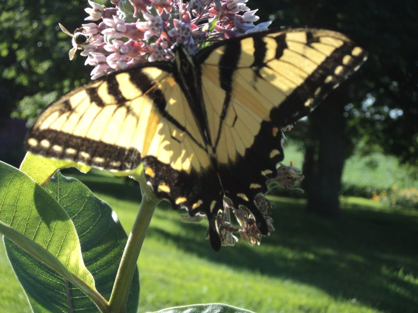 A symbol of transformation enjoying milkweed in the garden at the farm. Copyright S. Wise 2015