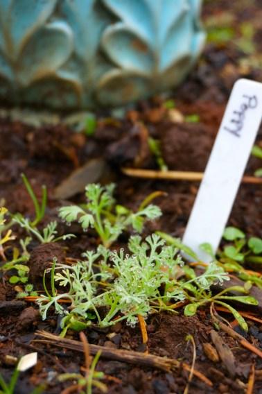 Baby poppies that sprouted early and survived the frosts so far