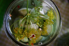Dill, garlic, and spices floating in brine.
