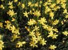starr_021019-0003_zephyranthes_citrina