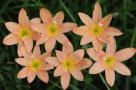 zephyranthes-new-dimension-i-9150-s-62158-r-01