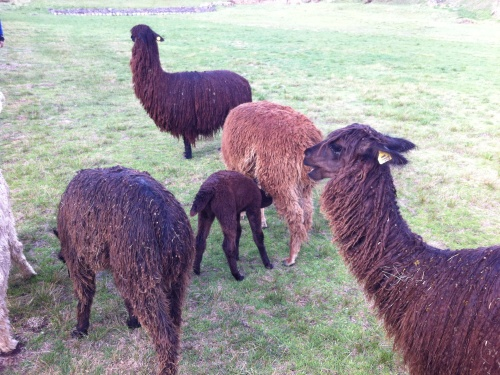 Llamas or alpacas? I'm still confused on which has the long neck!