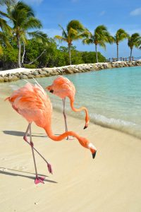 Flamingos fly south to Aruba in the winter