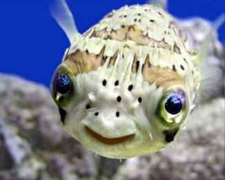 smilefish