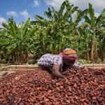 ガーナがカカオ豆の価値を十分に引き出していない理由と、それを変える可能性について
