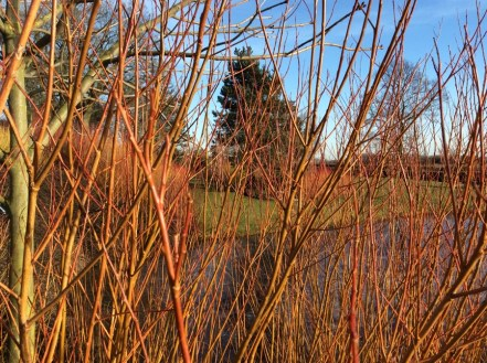 brightwater-gardens-golden-willow