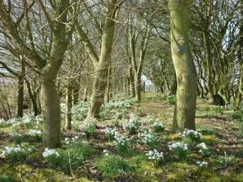 brightwater-gardens-woodland-snowdrops