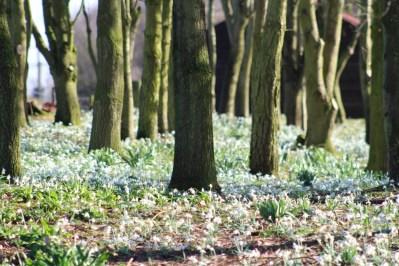 brightwater-gardens-saxby-lincolnshire-snowdrops-winter-gardens-10