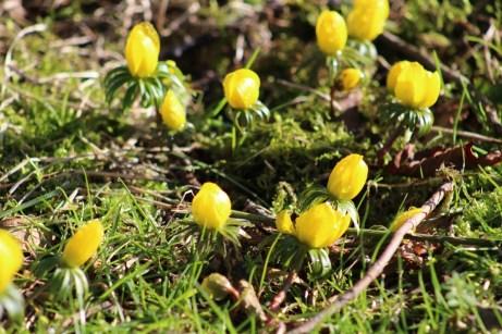 brightwater-gardens-saxby-lincolnshire-snowdrops-winter-gardens-11