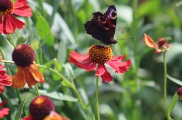 butterfly-helenium