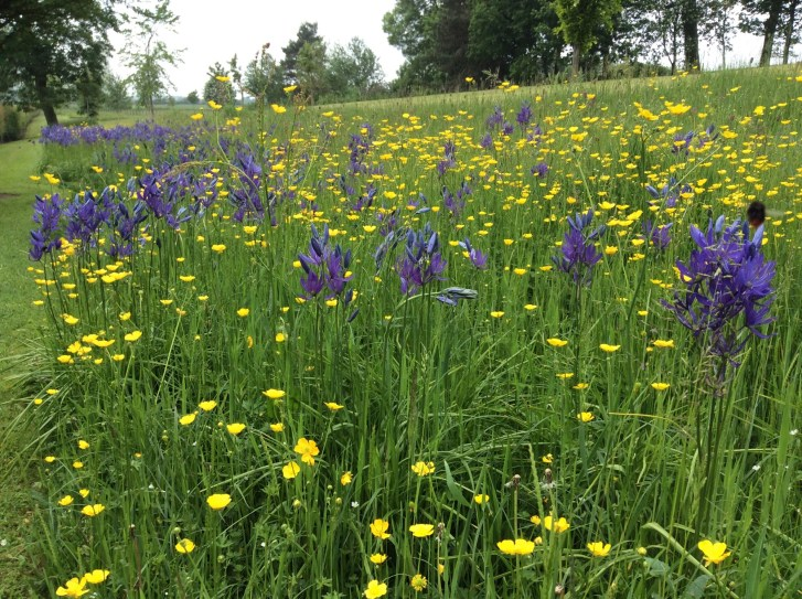 camassia-on-the-bulb-bank-meadow