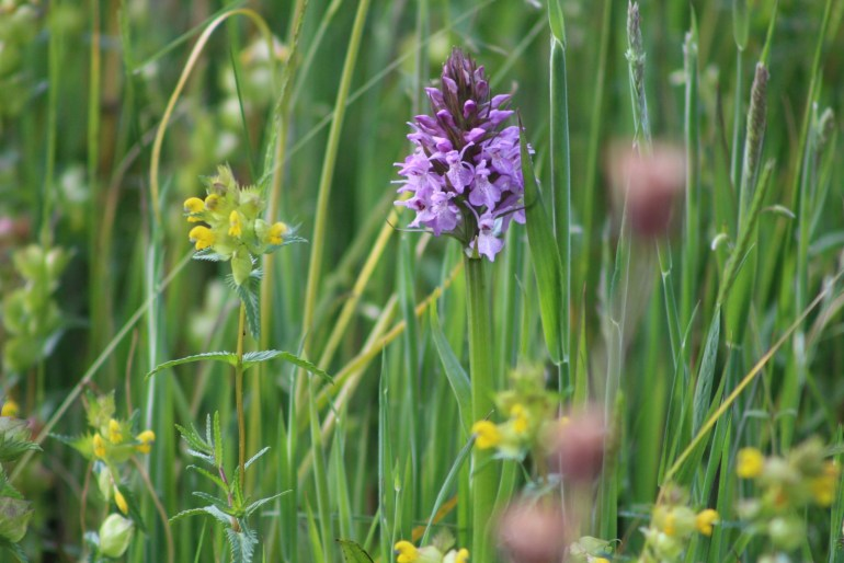 common-orchid-meadow