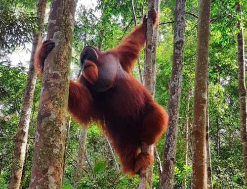 orangutan trekking with teens