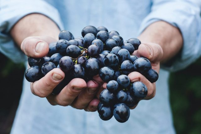 A handful of wine making grapes