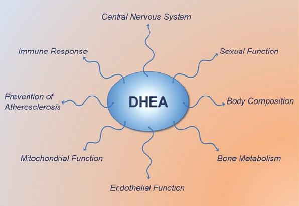 DHEA-effects