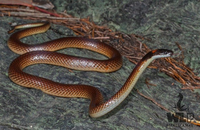 reduced red naped snake