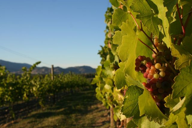 Tantalus Vineyards is home to pinot noir vines planted in 1985.