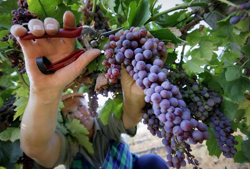 Italian grape harvest; ItalianGoodNews.com