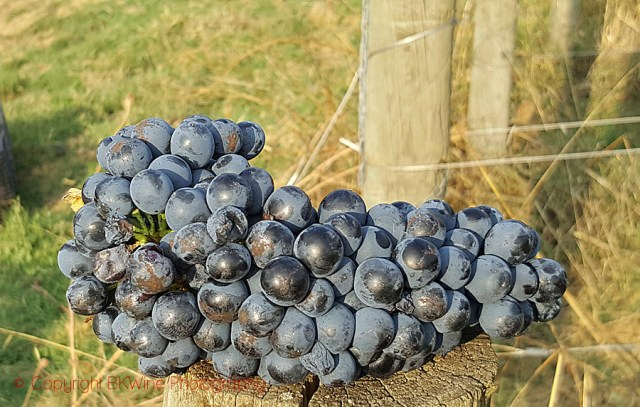 Syrah grape bunch in Tuscany, copyright BKWine Photography