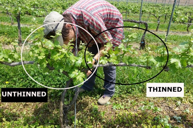 Suzanne Fleishman, graduate student at Penn State in the Centinari lab, is shoot thinning spur-pruned Grüner Veltliner vines (May 26, 2016). Note the differences shoot density between the cordons on the right (thinned) and on the left (unthinned) cordons.