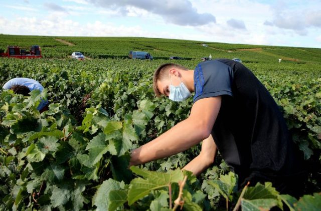 The 2020 Champagne harvest in Avenay-Val-d'Or, France, on August 24, 2020 / Getty