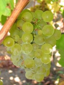 Ripe Sauvignon blanc grapes; wikipedia