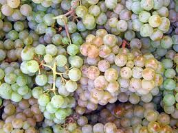 Pinot blanc grapes; wikipedia