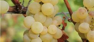 winesofalsace.com