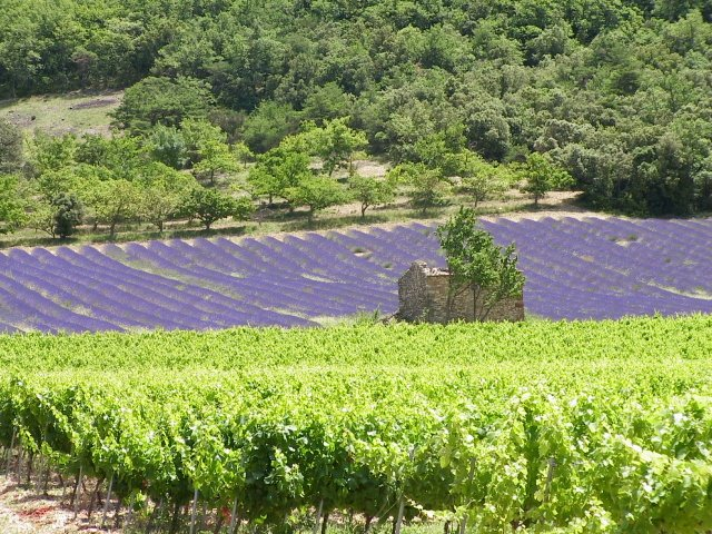 Vines and lavender in Tricastin.