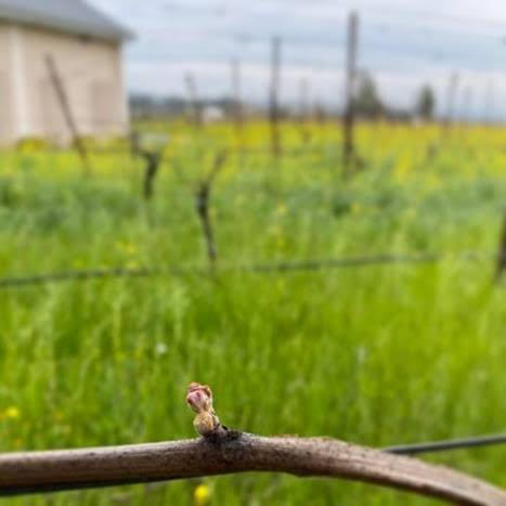 2021 bud break in Carneros AVA photo credit – Chris Hyde, Hyde Vineyards