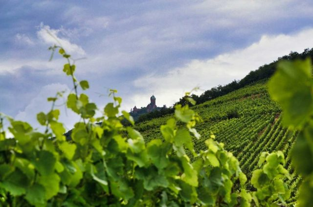 Vineyards in Alsace in September 2020. The frost impact in 2021 was relatively light in the region, but mildew has caused challenges in recent weeks. Credit: Photo by Victor Bouton on Unsplash
