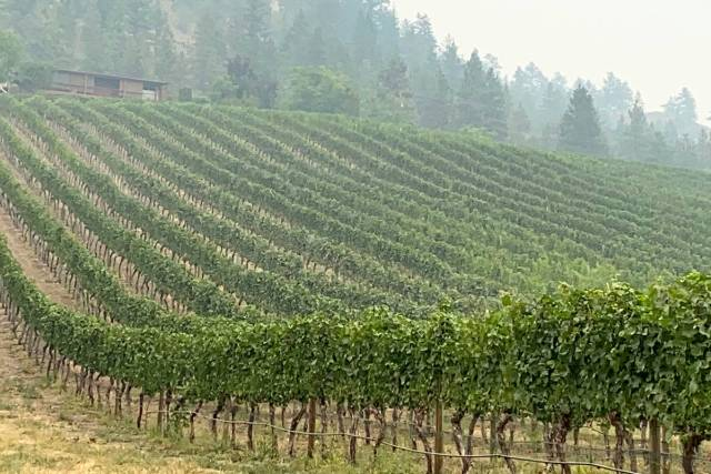 Researchers are working to find out what causes smoke taint and how winegrowers can protect their crops from the defect. (File photo)