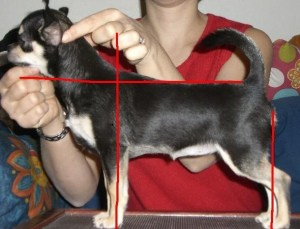 CH. Starsen's Geez She's Grand, bred by Stacey Amirov of Starsen Chihuahuas