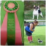 Gus at Chihuahua Club of Northern California winning Best Of Variety in Sweepstakes