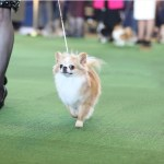 Westminster Kennel Club 2014, long coat chihuahuas