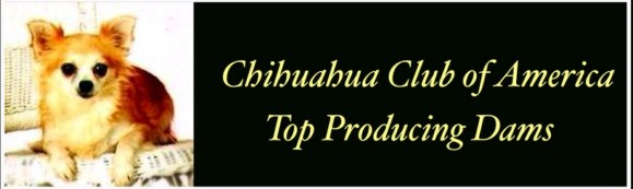 """Chihuahua Club of America Top Producing Dams, featured is chihuahua """" Dea's Williy Watch Me Gnal"""
