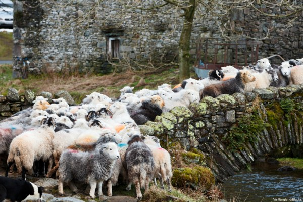 A herd of sheep walking over a bridge - Lake District (c) Visit Britain