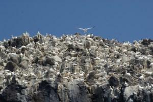 Gannets flying in North Berwick, Scotland