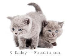 set of little sitting british shorthair kittens cat isolated
