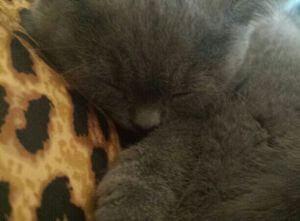 Ein Britisch Kurzhaar Kitten braucht Geborgenheit