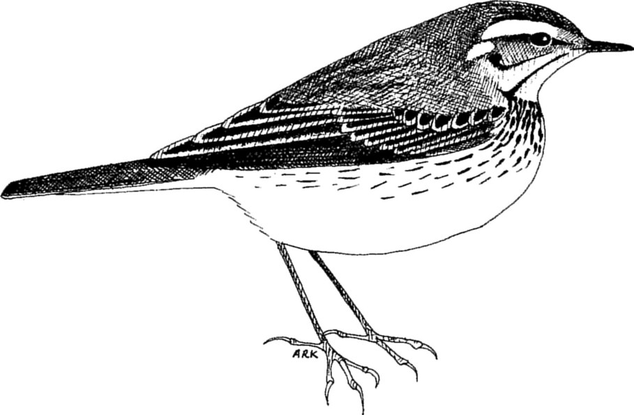 Identification of Olive-backed Pipit, Blyth's Pipit and