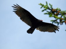 Turkey Vulture (Cathartes aura) in flight, Oyster River, British Columbia.