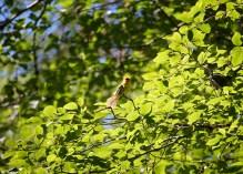 Male Western Tanager (Piranga ludoviciana), Comox Valley, British Columbia.
