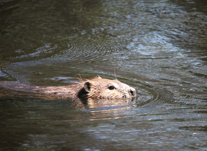 North American Beaver (Castor canadensis), Comox Valley, British Columbia.