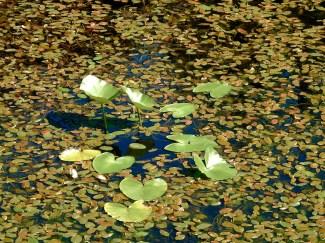 Yellow Pond Lily (Nuphar polysepala), Comox Valley, British Columbia.