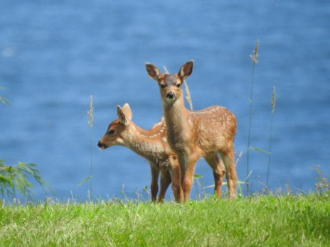Mule Deer (Odocoileus hemionus) fawns, Comox Valley, British Columbia.