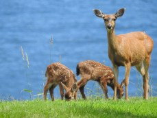 Mule Deer (Odocoileus hemionus) fawns with their mother, Comox Valley, British Columbia.