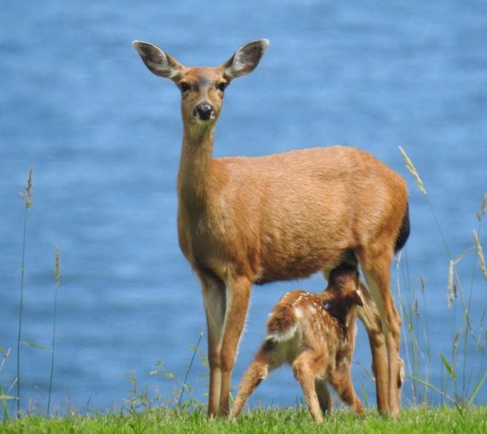 Mule Deer (Odocoileus hemionus) fawn nursing, Comox Valley, British Columbia.